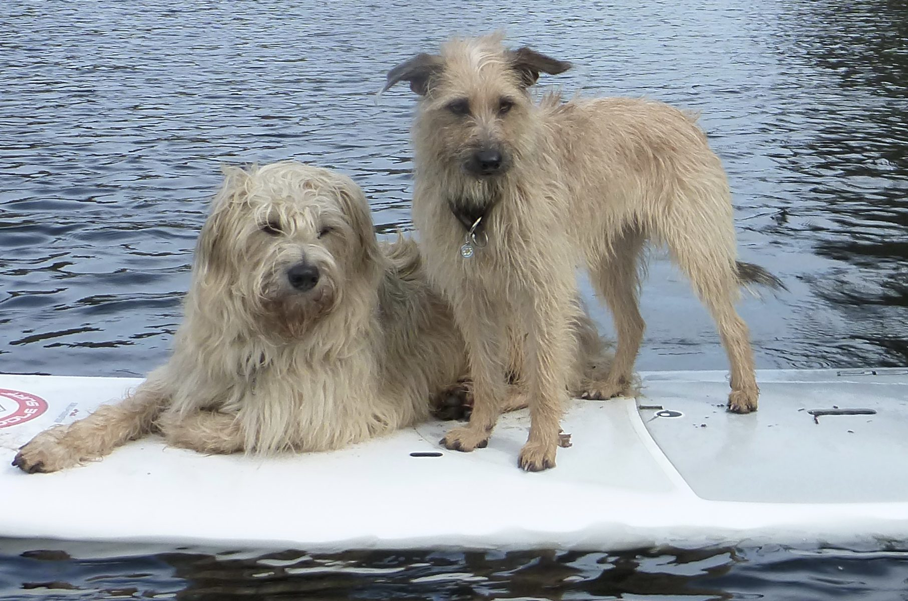Water dogs SUPing